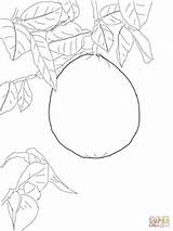 Pomelo Tree Coloring Pages Grapefruit Drawing Template Supercoloring Apple Sketch Sheet sketch template