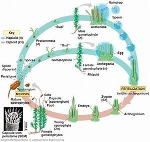 Moss Life Cycle