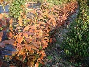 Kirschlorbeer Hat Braune Blätter : gartentipps gartencenter schittenhelm wintersch den an ~ Lizthompson.info Haus und Dekorationen
