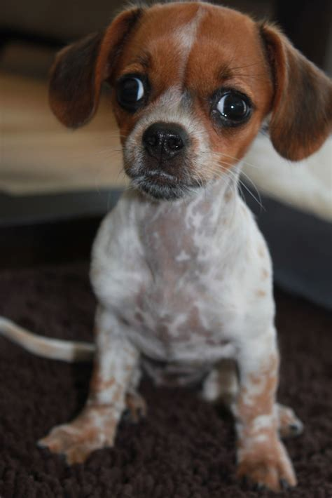 ooh la loft home  cute  chiweenie puppy bella