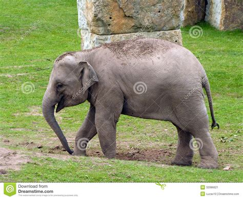 baby indian elephant pictures