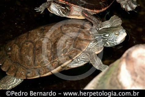 graptemys geographica  reptile