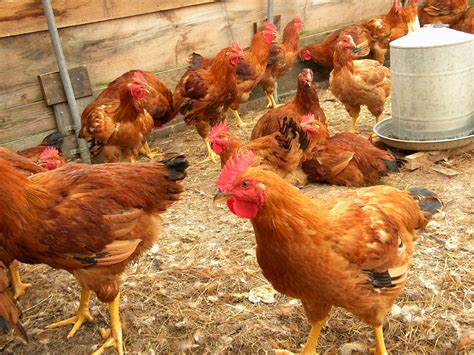 chicken farm a comprehensive guide of china s poultry industry the