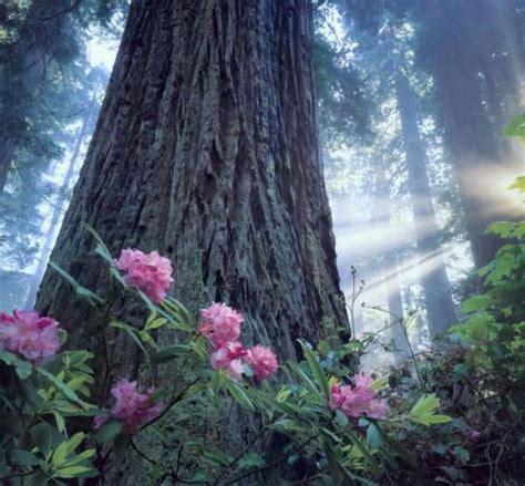 planting  redwood trees semi shady acidic loving
