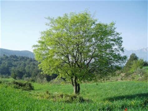 cuisine celtis micocoulier plantation entretien culture