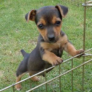 Black and Tan Miniature Jack russell pup | York, North ...