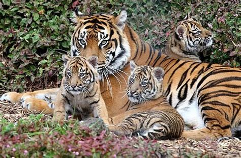 Rare Sumatran Tiger Tigers Animals Pic