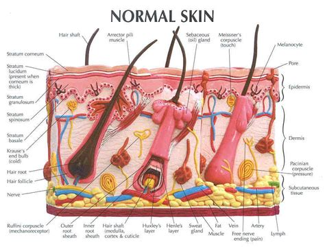 Skin Cell Diagram Label by 301 Moved Permanently