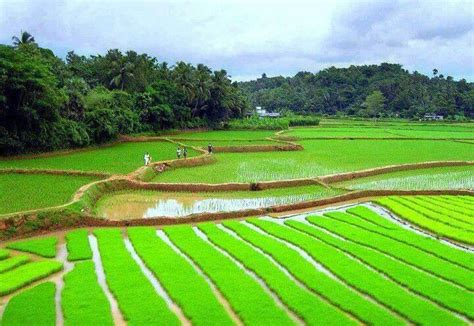 bangladesh rice fields  bangladesh bangladesh