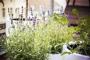Lavande Anti Moustique : plantes anti moustiques une s lection aussi parfum e que color e ~ Nature-et-papiers.com Idées de Décoration