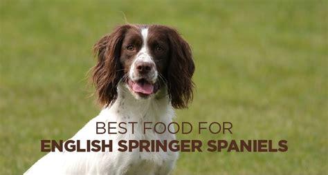 springer english food spaniel spaniels dog herepup
