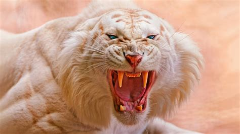 4k Animal Wallpaper - wallpaper white tiger roaring 4k animals 418