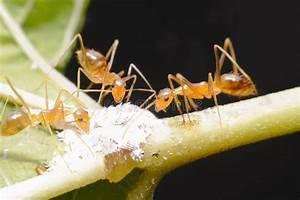 Was Essen Ameisen : drei ameisen essen stockfoto bild von ameise gr n ~ Lizthompson.info Haus und Dekorationen