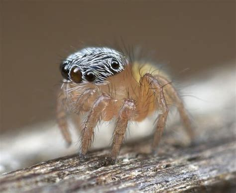 australian peacock spider  jumping spiders   land