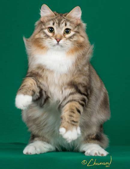 Cat Breeders by Siberian Cat Breeders Fanciers Breeder Referral List