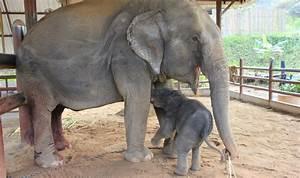 Baby Elephant Being Born
