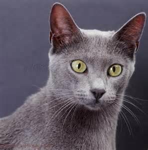 blue burmese cat blue bengal x burmese cat on grey background photo wp37668