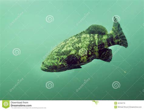 fishing line grouper wrap goliath around wrapped