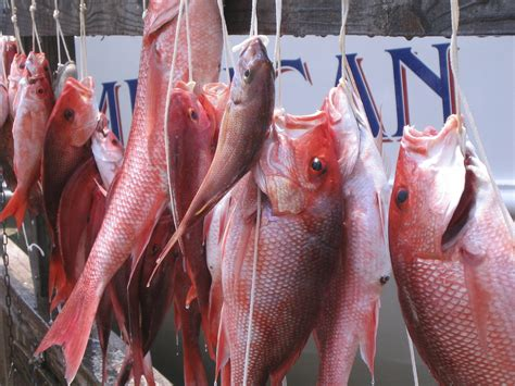 snapper gulf mexico season snappers federal seas rule states gulfcouncil