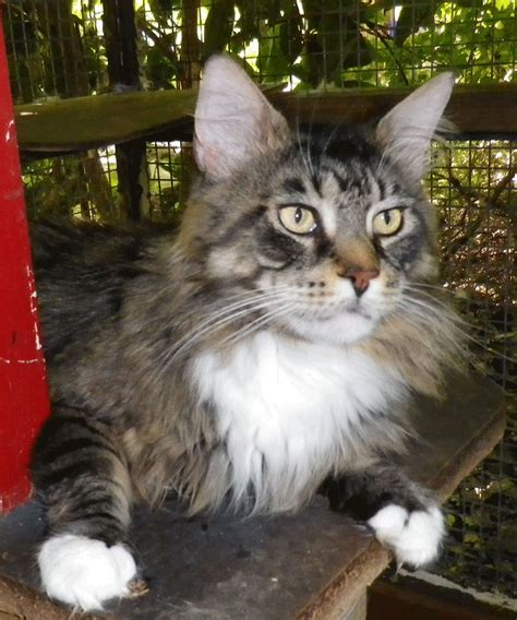 Cats Breeders maine coon info maine coon breeders maine coon kittens