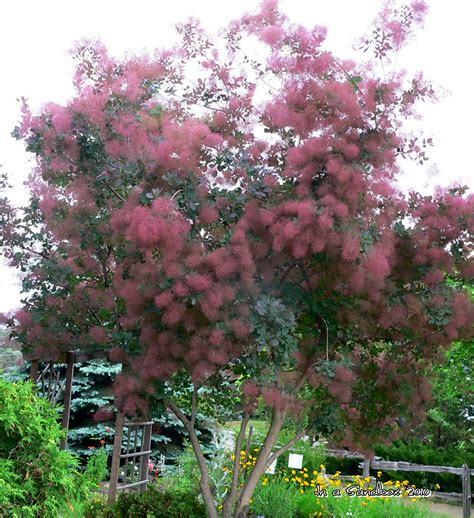 smoke tree gardening in a sandbox cotinus coggygria smoke bush