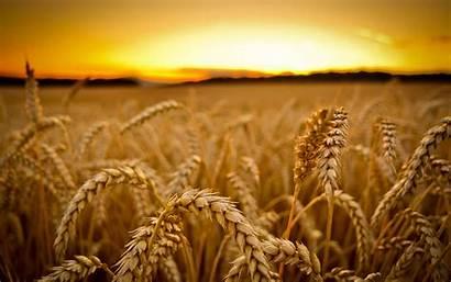 Wheat Gmo Washington Export State Global Gm