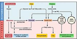 Anabolism And Catabolism