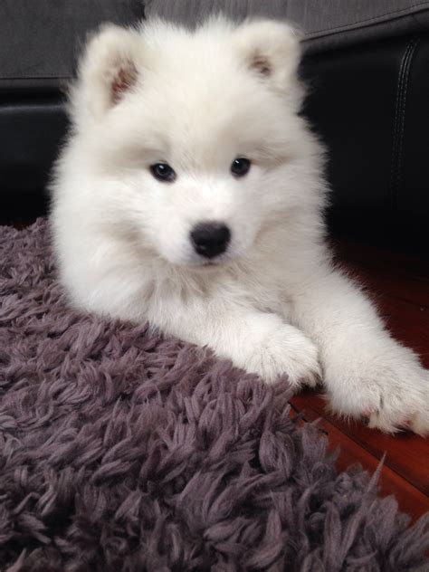 loki  samoyed puppy  sweethearts   lifes