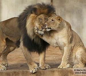 The 25+ best ideas about Lion Couple on Pinterest | Lions ...