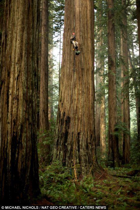 People Climbing Redwood Trees