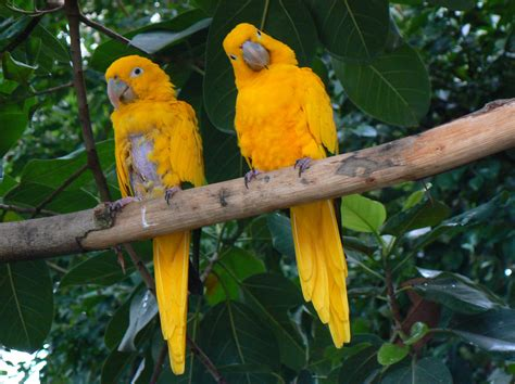 golden conure file two golden conures jpg wikimedia commons