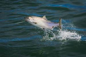 Alaska's mysteriously shrinking Kenai king salmon ...