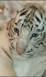 Free download white tigers Cute White Tiger And Cubs Photo ...