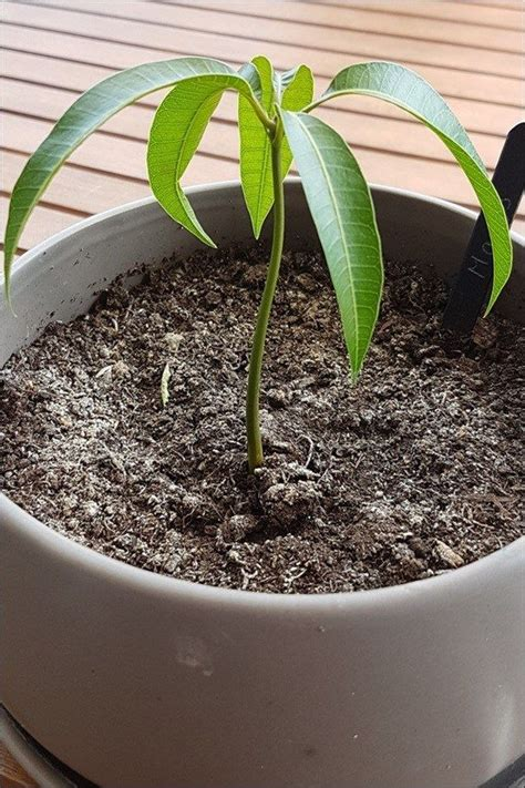 mango selber ziehen die besten 25 mango selber ziehen ideen auf