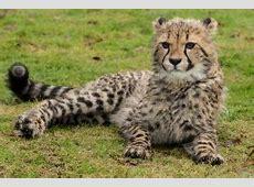 Meet Giles, Maya and Willow at The Big Cat Sanctuary The