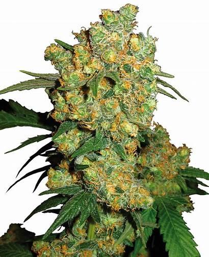 Bud Seeds Sensi Feminized Cannabis Strain Yield