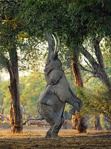 Elephant stands on its back legs to eat tree-top leaves ...