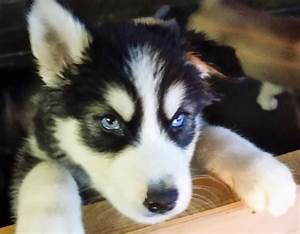Husky Malamute Puppies For Sale In Ontario