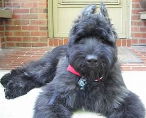 German Shepherd Poodle Mix: Why To Adapt ? Facts about ...