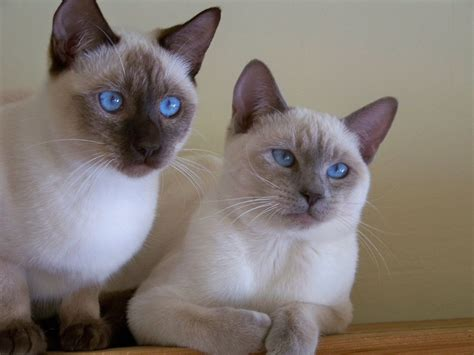 Top 10 Most Friendly Cat Breeds For Family With Kid Doovi