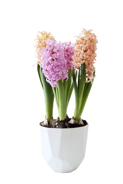 december   hyacinth   houseplant   month