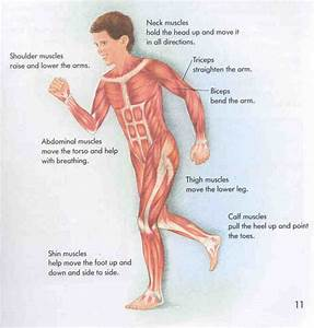 Muscular System Facts