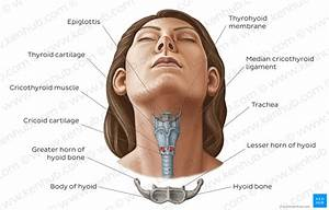 Diagram    Pictures  The Hyoid Bone  Anatomy