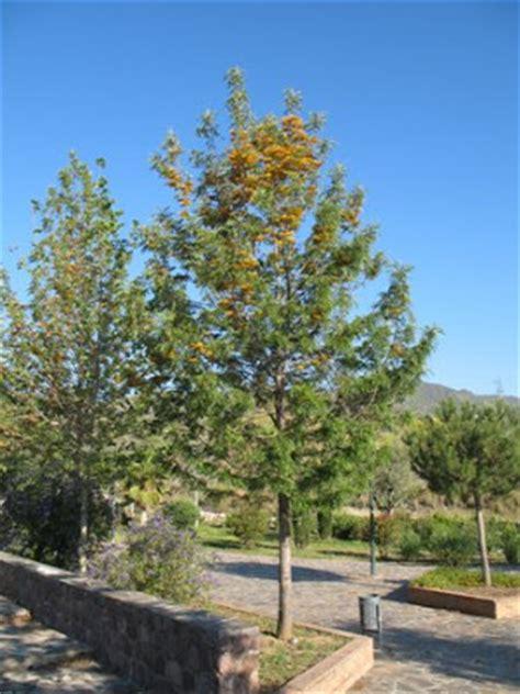 oak australia about silver oak trees indian estates