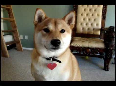 yuki  talking shiba inu youtube