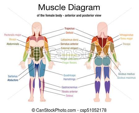 The muscles and fasciæ of the thigh. Muscle diagram female body names. Muscle diagram of the ...