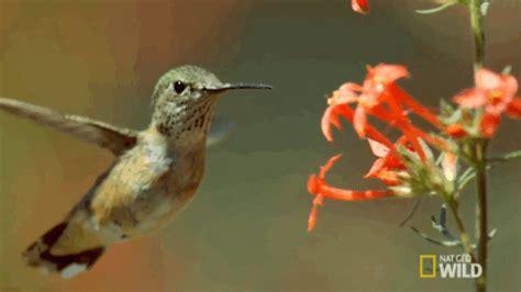 hummingbird yellowstone gif  nat geo wild find share