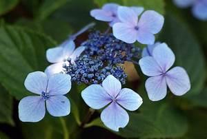 Hydrangea Flowers - Arrangements & Hydrangea Wedding Flowers