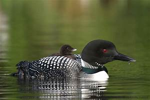 Common Loon Chicks Riding High | Naturally Curious with ...
