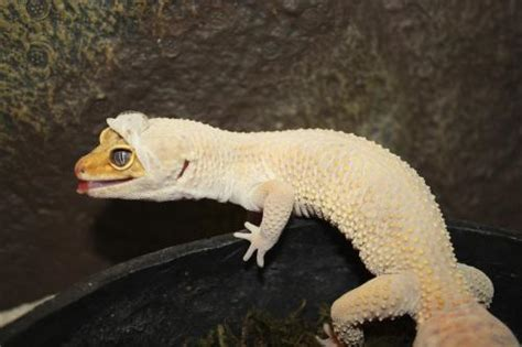 do baby leopard geckos shed reptile facts a leopard gecko eublepharis macularius